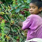 Budoucnost bez kávy? Dokážeme zabránit světu bez kávy? Nebo káva jednou vymizí z našich životů?