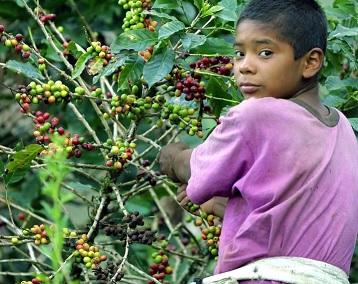 Budoucnost kávy v ohrožení? Na budoucnost globální produkce kávových zrn padl temný stín