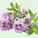 Esenciální olej Tymián borneol (Thymus satureioides) – účinky, vlastnosti, kontraindikace