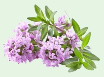 Tymián borneol (Thymus satureoides)