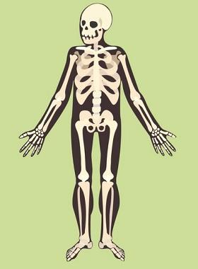 aždá kost má specifický tvar, protože má také specifickou funkci. Tam, kde je vyžadována větší poddajnost, je kost nahrazena chrupavkou.