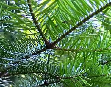 Alfa-pinen je jedním z dlouhé řady terpenů nacházejících se mimo jiné i v borovici.