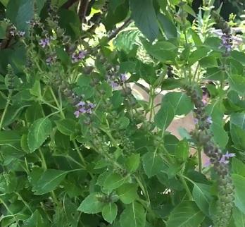 Posvátná bazalka (Ocimum tenuiflorum)