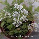 Esenciální olej Anýz (Pimpinella anisum) – vlastnosti, účinky a kontraindikace