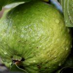 Guave (neboli Kvajáva, guava) a účinky tohoto ovoce na zdraví – super jsou plody i listy