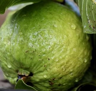 Guave je je původem z tropických oblastí Jižní Ameriky a má světle zelené, červené a někdy žluté plody.