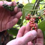 Esenciální olej černý pepř (Piper nigrum) – účinky, vlastnosti, kontraindikace