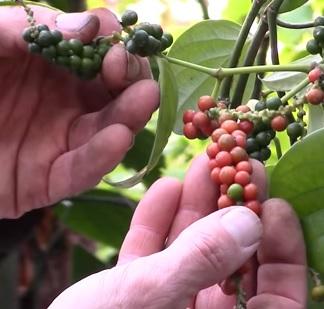 Esenciální olej černý pepř (Piper nigrum) - účinky, vlastnosti, kontraindikace