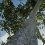 Esenciální olej Elemi (Canarium luzonicum) – účinky, vlastnosti, kontraindikace