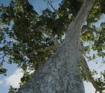 Esenciální olej Elemi (Canarium luzonicum) - účinky, vlastnosti, kontraindikace
