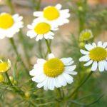 Esenciální olej Heřmánek pravý (Matricaria recutita) – účinky, vlastnosti, kontraindikace