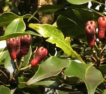 Esenciální olej Hřebíček (Syzygium aromaticum) - účinky, vlastnosti, kontraindikace