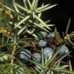 Esenciální olej Jalovec (Juniperus communis) – účinky, vlastnosti, kontraindikace