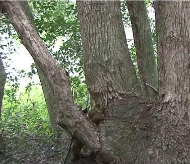 Kafrový éterický olej se získává parovodní destilací z rozdrceného dřeva stromu.