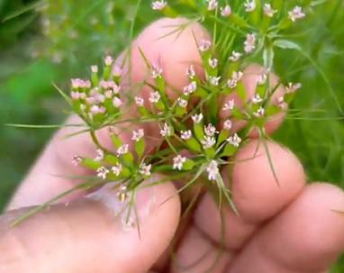 Kmín kvete bílými až růžovými, paprskovitými květy. Kvete v červenci.