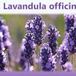 Esenciální olej Levandule lékařská (Lavandula officinalis) – účinky, vlastnosti, kontraindikace