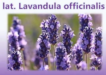 Esenciální olej Levandule lékařská (Lavandula officinalis) - účinky, vlastnosti, kontraindikace