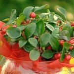 Esenciální olej Libavka (Gaultheria procumbens) – účinky, vlastnosti, kontraindikace