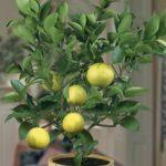 Esenciální olej Limeta (Citrus aurantifolia) – účinky, vlastnosti, kontraindikace