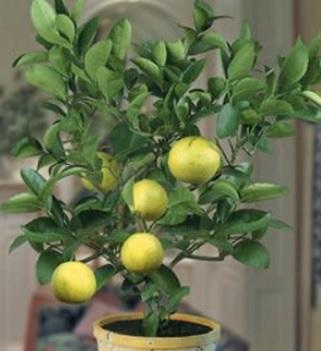 Esenciální olej Limeta (Citrus aurantifolia) - účinky, vlastnosti, kontraindikace