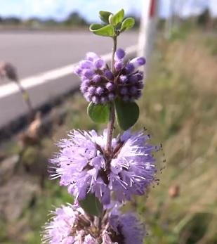 Polej obecná (Mentha pulegium)