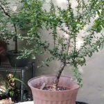 Esenciální olej Myrha (Commiphora myrha) – účinky, vlastnosti a kontraindikace