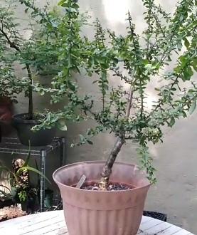 Commiphora myrha