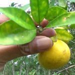 Esenciální olej Mandarinka (Citrus reticulata) – účinky, vlastnosti, kontraindikace