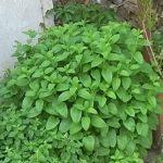 Esenciální olej Meduňka (Melissa officinalis) – účinky, vlastnosti, kontraindikace