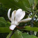 Esenciální olej Magnólie (Magnolia officinalis) – vlastnosti, účinky a kontraindikace