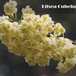 Esenciální olej Vavřín kubébový (Litsea cubeba) – vlastnosti, účinky a kontraindikace