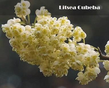 Esenciální olej Vavřín kubébový (Litsea cubeba) - vlastnosti, účinky a kontraindikace