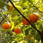Esenciální olej Hořký pomeranč (Citrus aurantium) – vlastnosti, účinky a kontraindikace