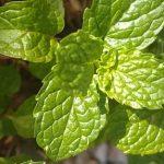 Esenciální olej Máta klesnatá (Mentha spicata L.) – účinky, vlastnosti a kontraindikace