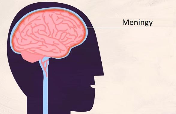 Meningy neboli mozkomíšní pleny jsou tři obaly z pojivové tkáně, které leží zevně od mozku a míchy