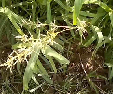 Palmarosa je aromatická bylina s dlouhými, úzkými listy