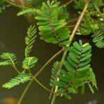 Chanca Piedra (Phyllanthus niruri) a její účinky na zdraví