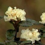 Esenciální olej Rhododendron (Rhodendron anthopogon D.Don.) – účinky, vlastnosti, kontraindikace