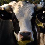 Nemoc šílených krav (bovinní spongiformní encefalopatie – BSE) – příznaky, příčiny a léčba