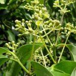 Esenciální olej Ravensara (Ravensara aromatica) – účinky, vlastnosti, kontraindikace