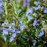 Esenciální olej Rozmarýn verbenon (Rosmarinus officinalis verbenoniferum) – účinky, vlastnosti, kontraindikace