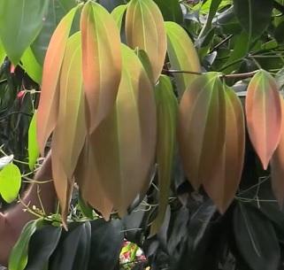 Listy Cinnamomum zeylanicum