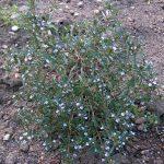 Esenciální olej Saturejka zahradní (Satureja hortensis) – účinky, vlastnosti, kontraindikace