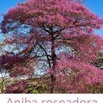 Esenciální olej Růžové dřevo (Aniba roseadora) – účinky, vlastnosti, kontraindikace