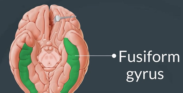 Fusiformní závit (gyrus fusiformis)