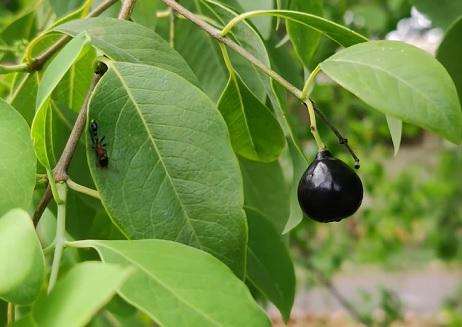 Plody jsou podobné menším ořechům