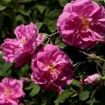 Esenciální olej Růže damašská (Rosa damascena) – účinky, vlastnosti, kontraindikace