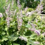 Esenciální olej Šalvěj muškátová (Salvia sclarea) – účinky, vlastnosti, kontraindikace