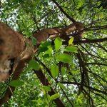 Esenciální olej Santalové dřevo (Santalum album) – účinky, vlastnosti, kontraindikace