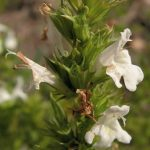 Esenciální olej Saturejka horská (Satureja montana) – účinky, vlastnosti, kontraindikace